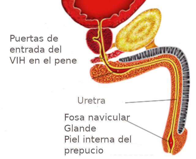 Glande: Cos'è? Anatomia, Funzione e Patologie